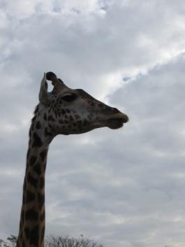 Animal Kingdon Giraffe