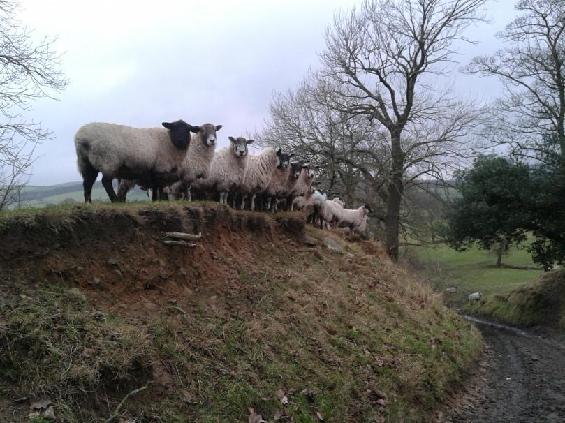Bolton Abbey Sheep